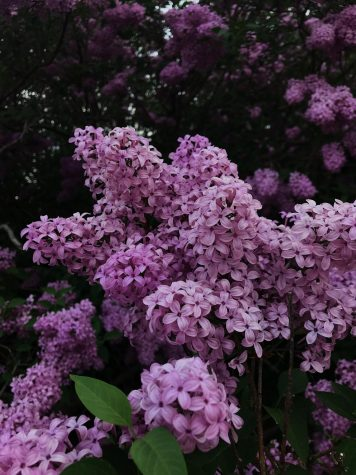 Lilacs in Door County