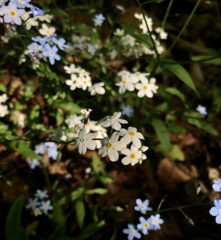Forget-Me-Not ~ Ahnapee State Trail, WI